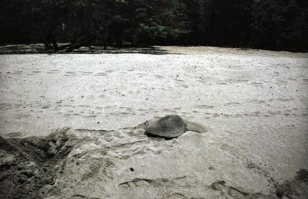 The Olive back turtle that came to nest.