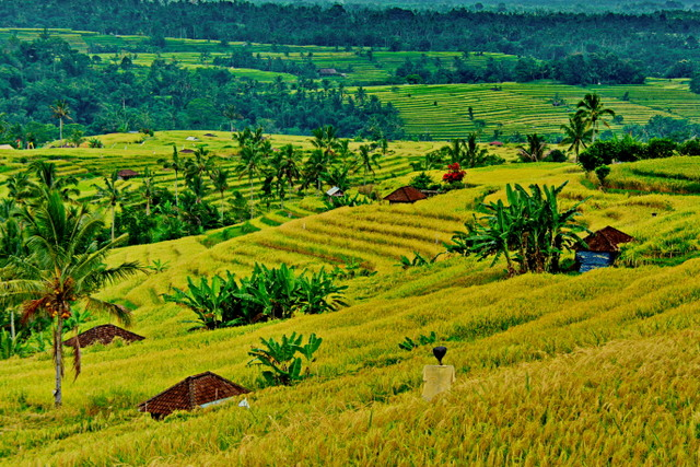 Jatiluwih rice terrace, Tabanan - part of the Subak system and a UNESCO heritage site