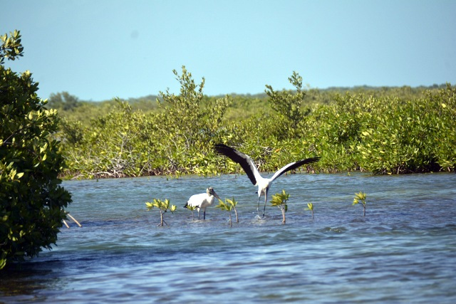 White IIbis seen here in the lagoons north of the San Pedro city